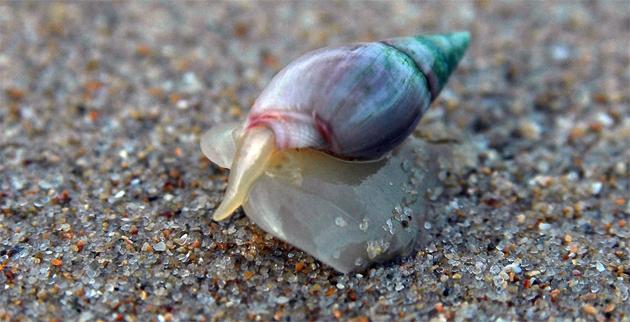 Plough snail