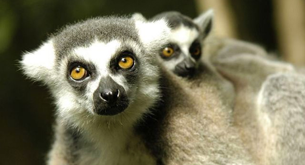 Lemur Monkeyland Plettenberg Bay