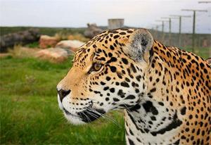 jucani wild cats