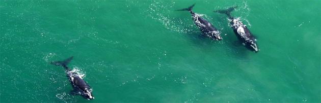 Whales Plettenberg Bay
