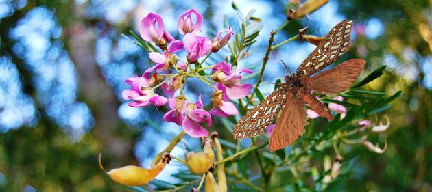 Keurboom Leto Venus Moth Milkwood Manor