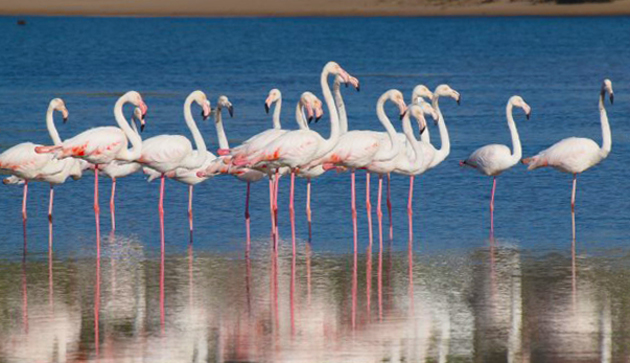 Flamingos on Keurbooms Lagoon