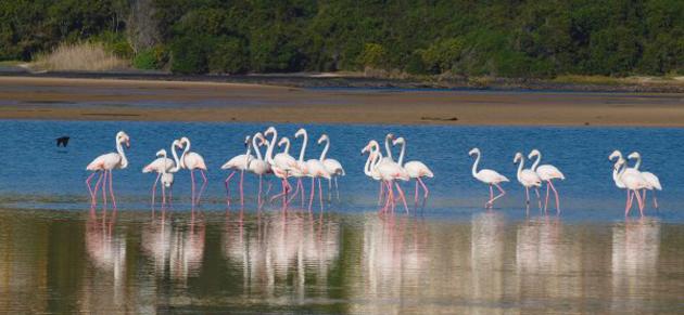 Flamingos in Plett