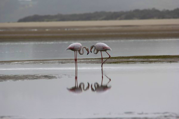 Plett Flamingos